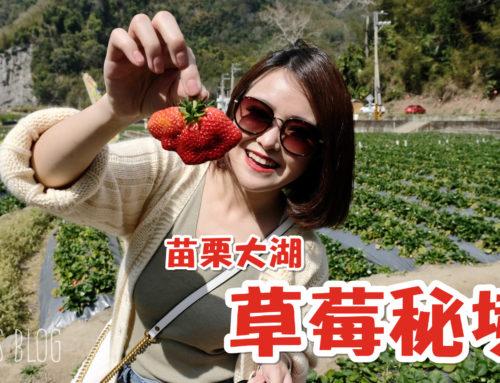 【遊記/苗栗】鮮為人知的大湖內部草莓秘境!占地大、草莓又大又紅又香甜♥